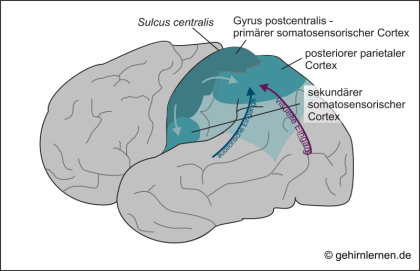 Reifung des präfrontalen Kortex