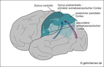 Schläfenlappen, somatosensorischer Cortex