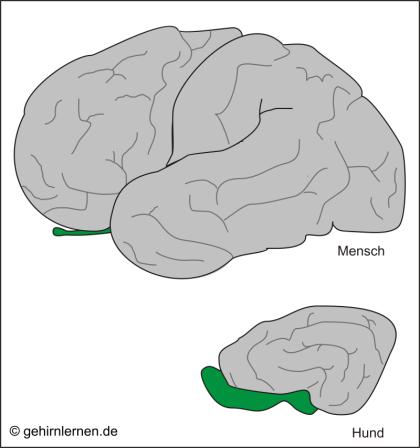 Riechhirn, Rhinencephalon, Riechkolben, olfaktorischer Cortex, Bulbus olfactorius