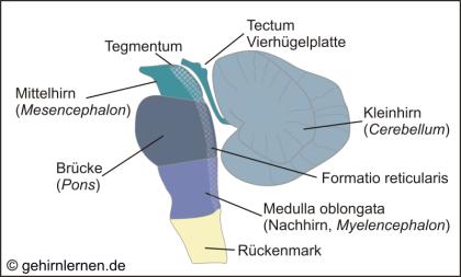 Mesencephalon, Pons, Medulla oblongata, Tegmentum, Tectum