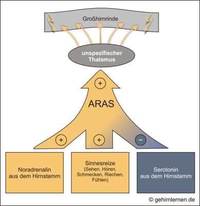 ARAS, Thalamus, Formatio reticularis