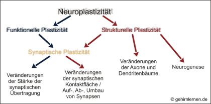 Plastizität, Neuroplastizität, neuronale Plastizität
