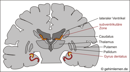 Gyrus dentatus, subventrikuläre Zone