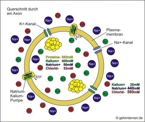 Ionenverteilung, Ruhepotential, Querschnitt durch ein Axon