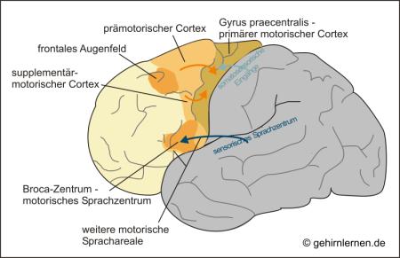 Motorischer Cortex, Frontallappen, Gyrus praecentralis
