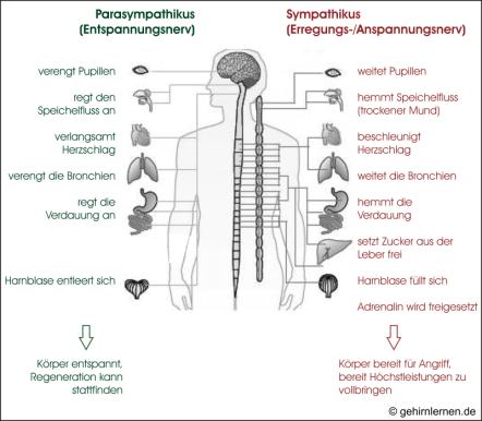 Gehirn und Lernen - Das Nervensystem
