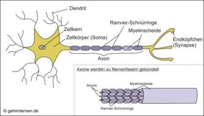 Axone werden zu Nervenfasern gebündelt