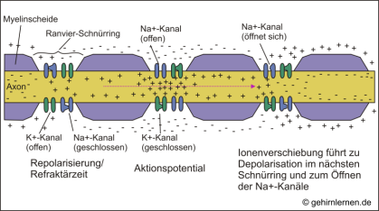 saltatorische Reizweiterleitung, Ranvier-Schnürringe, Myelinscheide