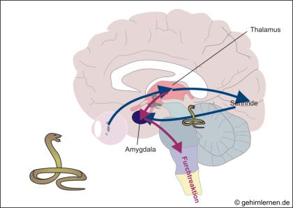 Informationsfluss im Gehirn bei der Furchtreaktion