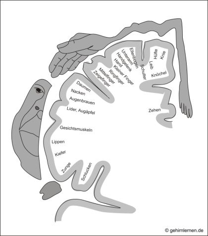 Homunculus, Bewegungsrinde, Gyrus praecentralis