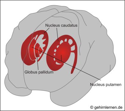 Basalganglien, Nucleus caudatus, Nucleus Putamen, Globus pallidum, Striatum