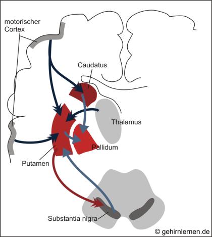 Basalganglien, Striatum, Nucleus caudatus, Nucleus putamen, Globus pallidus, Pallidum