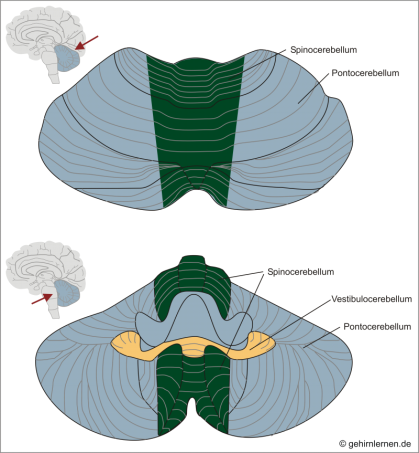 Cerebellum. Pontocerebellum, Spinicerebellum, Vestibulocerebellum