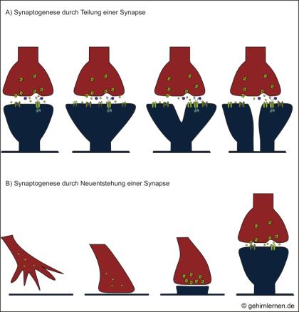 Synaptogenese