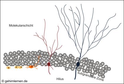 Neurogenese, Gyrus dentatus, Zellproliferation, Integration, Migration, Differenzierung, Zellüberleben