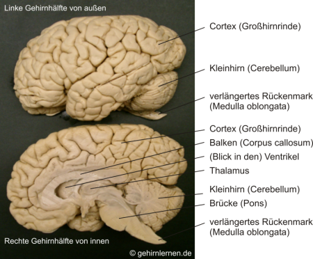 Gehirn und Lernen - Viele Teile mit unterschiedlichen und ...