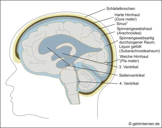 Gehirn und Lernen - Gut geschützt - Hirnhäute, Ventrikel und Liquor