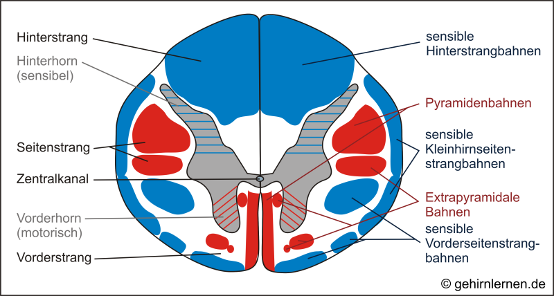 Gehirn und Lernen - Das Rückenmark